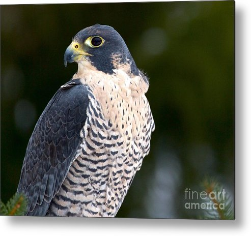 Beak Metal Print featuring the photograph Peregrine Falcon by Precision Images