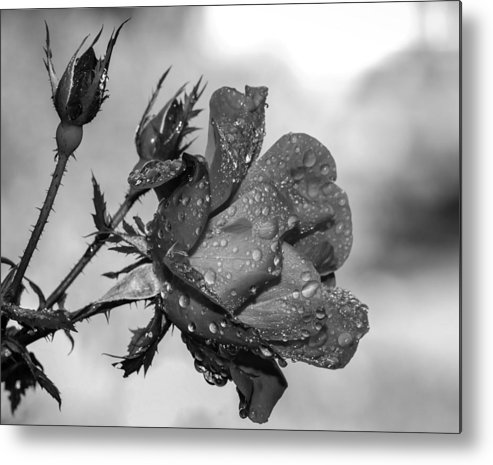 Rose Metal Print featuring the photograph Raindrop Rose Close-up by Charles Feagans