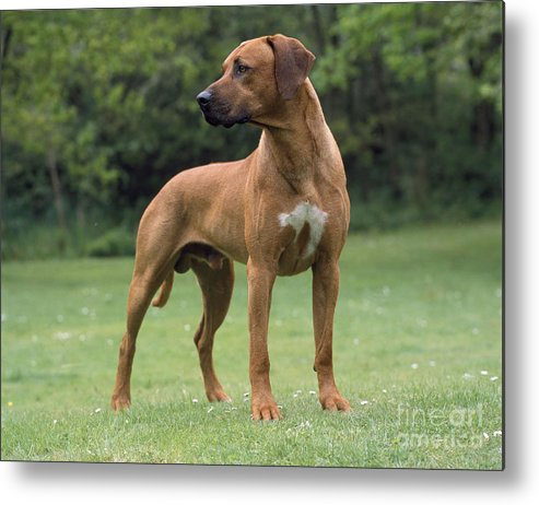 Rhodesian Ridgeback Metal Print featuring the photograph Rhodesian Ridgeback Dog by John Daniels