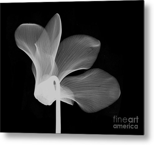 Nature Metal Print featuring the photograph Cyclamen Flower X-ray by Bert Myers