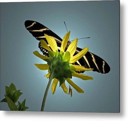 Nature Metal Print featuring the photograph Zebra Longwing by Peg Urban