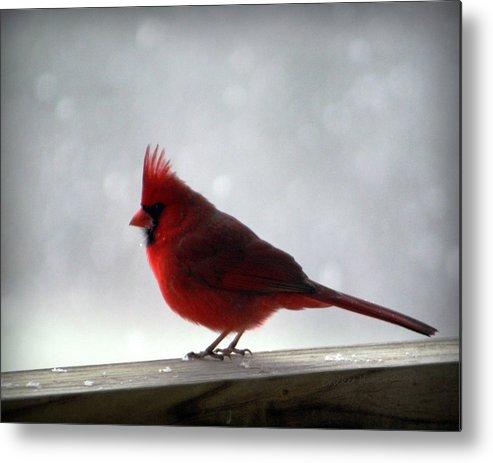 Cardinal Metal Print featuring the photograph Cardinal by Cricket Hackmann