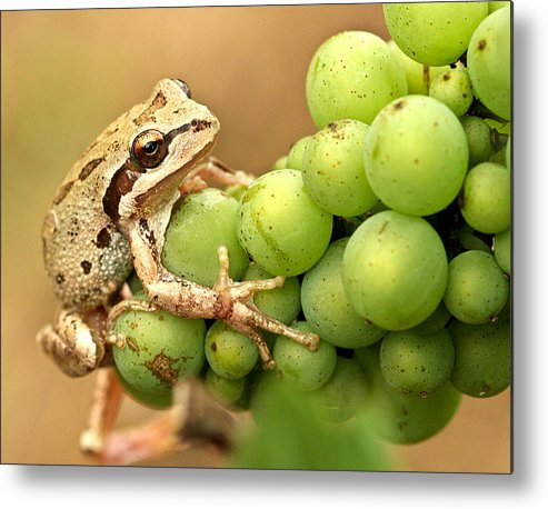 Amphibians Metal Print featuring the photograph Catching A Ride On The Pinot by Jean Noren