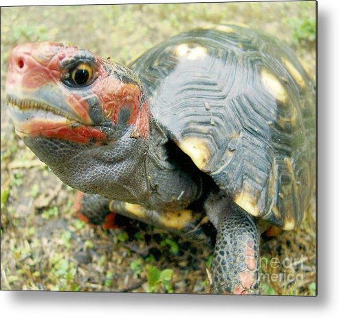 Tortoise Metal Print featuring the photograph Cherry Head by Richard Brooks
