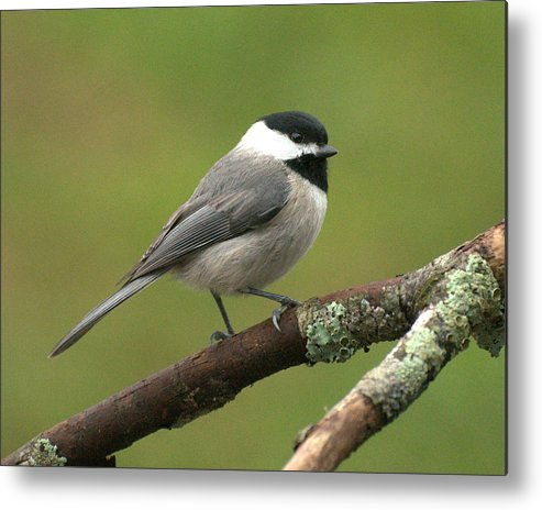 Bird Metal Print featuring the photograph Chickadee by Theron Clore