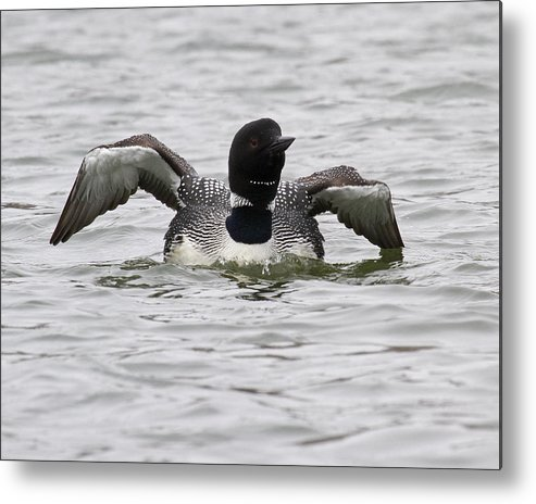 Common Loon Metal Print featuring the photograph Common Loon 66 by Eric Mace