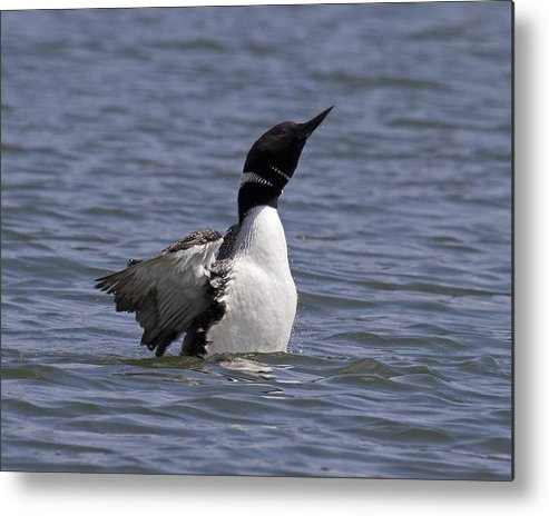 Common Loon Metal Print featuring the photograph Common Loon 74 by Eric Mace