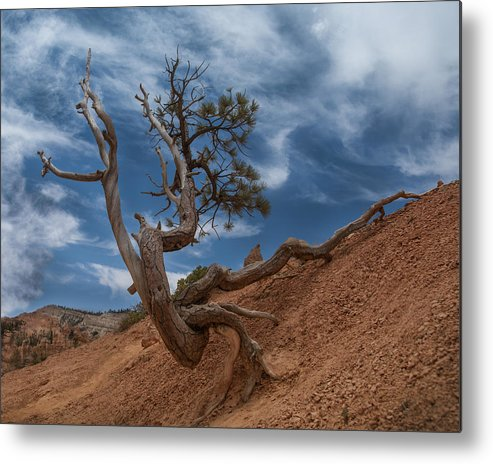 Bristlecone Pine Metal Print featuring the photograph Determined by Nichon Thorstrom