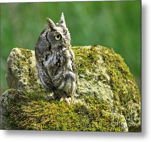 Echo Metal Print featuring the photograph Echo Of An Eastern Screech Owl by Inspired Nature Photography Fine Art Photography