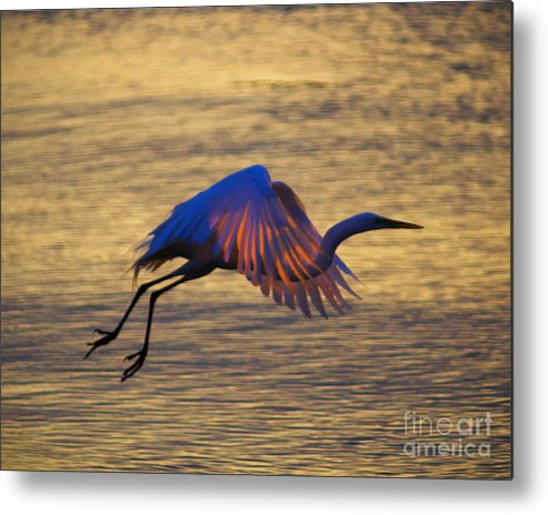 Egret Metal Print featuring the photograph Feather-light by Joe Geraci