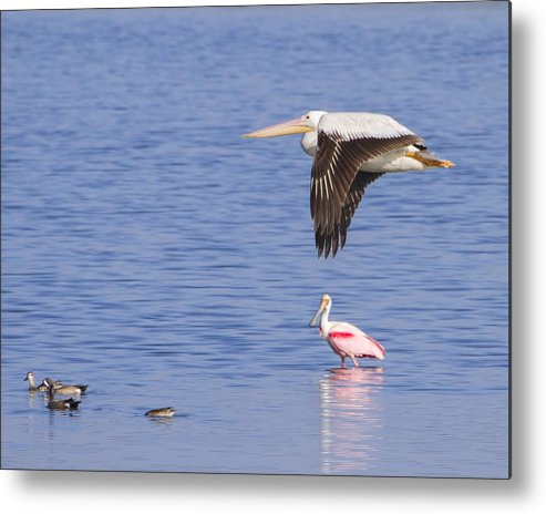 Seagull Metal Print featuring the photograph Flight Of The Pelican by Mark Andrew Thomas