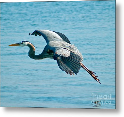 Heron Metal Print featuring the photograph Flying Heron by Stephen Whalen