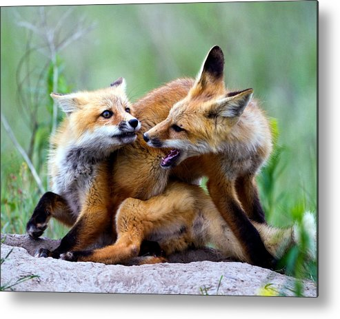 2012 Nbc Weather Calendar Metal Print featuring the photograph Fox Kits At Play - An Exercise In Dominance by Merle Ann Loman