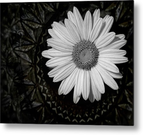 Daisy Metal Print featuring the photograph Fresh Cut by Kristi Swift