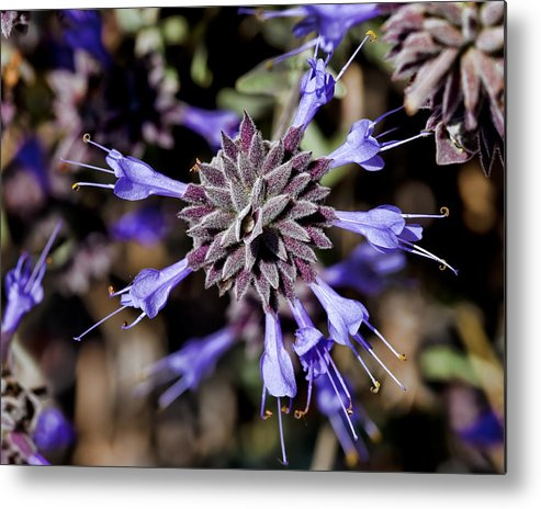 Fuzzy Metal Print featuring the photograph Fuzzy Purple 3 by Kelley King