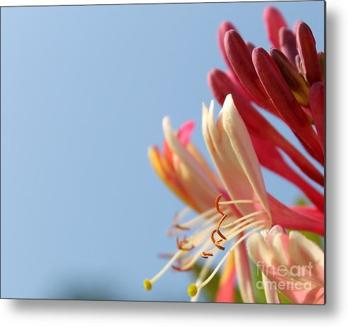 Honeysuckle Metal Print featuring the photograph Honeysuckle And Sky by Renee Croushore