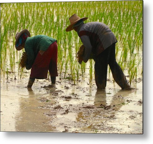 Thailand Metal Print featuring the photograph How We May Enjoy Rice by Sarah Parks