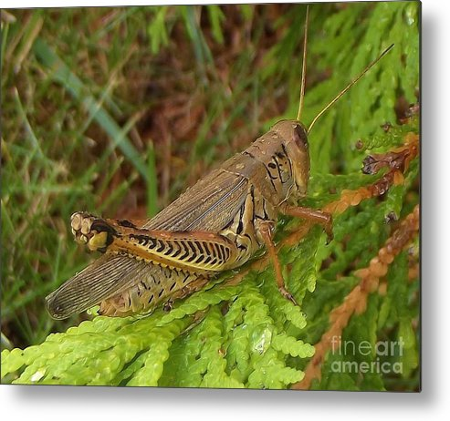 Insect Metal Print featuring the photograph Indiana Grasshopper by Rory Cubel