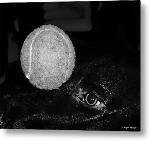 Dog Metal Print featuring the photograph Keep Your Eye On The Ball by Roger Wedegis