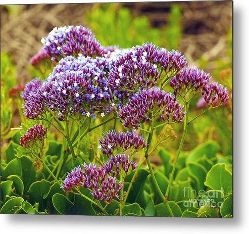Limonium Metal Print featuring the photograph Limonium - Statice by Artist and Photographer Laura Wrede