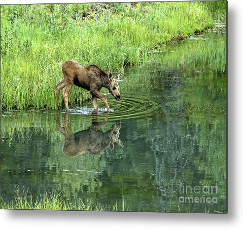 Moose Metal Print featuring the photograph Moose Calf Testing The Water by Timothy Flanigan