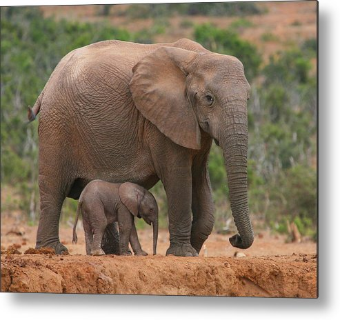 Elephant Metal Print featuring the photograph Mother And Calf by Bruce J Robinson