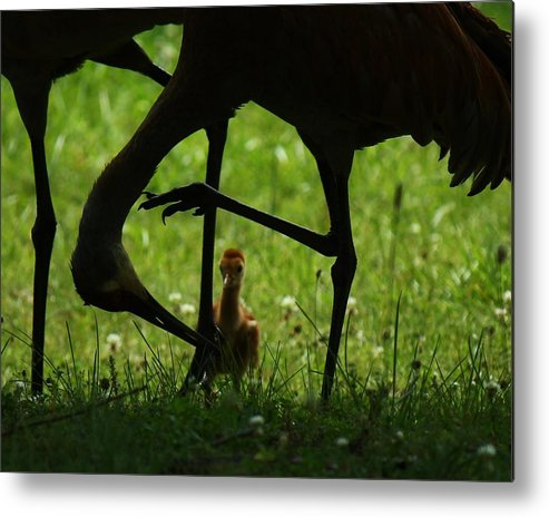 Birds Metal Print featuring the photograph Peek-a-boo Crane by Dori Sumter