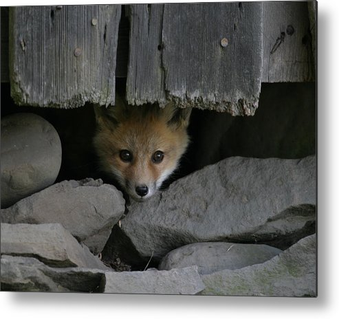 Peeping Metal Print featuring the photograph Peeping Fox by Patsy Zedar