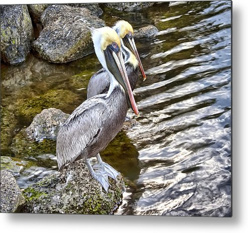 Pelicans Metal Print featuring the photograph Pelican Pals by Dan Dennison