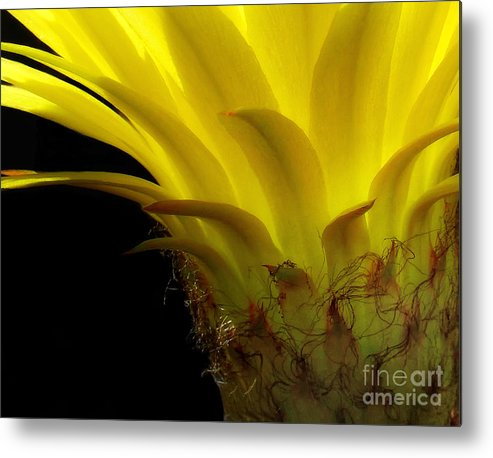 Cactus Metal Print featuring the photograph Cactus Flower by Mike Nellums