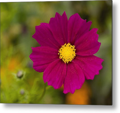 Pink Metal Print featuring the photograph Pink Cosmos 3 by Roger Snyder