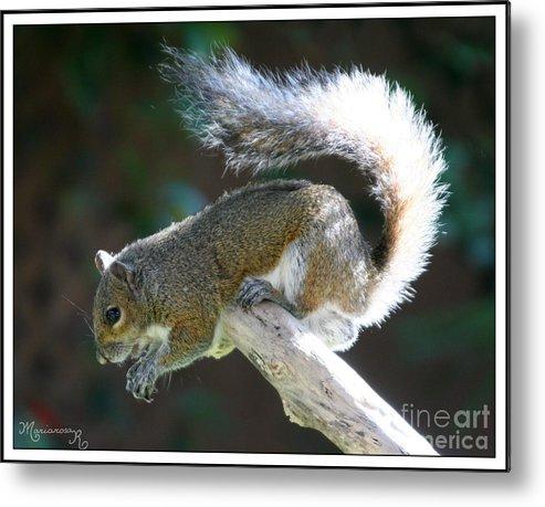 Squirrel Metal Print featuring the photograph Precarious Perch by Mariarosa Rockefeller