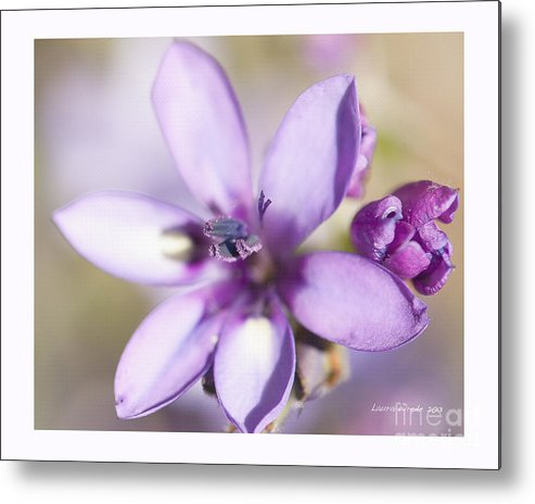 Purple Geranium Metal Print featuring the photograph Purple Geranium 2 by Artist and Photographer Laura Wrede