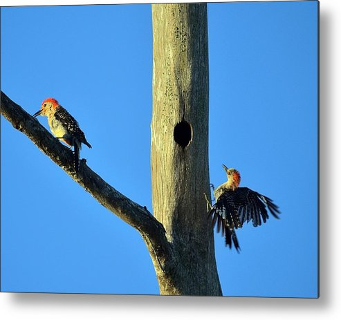 Nature Metal Print featuring the photograph Red Bellied Woodpecker by Diana Berkofsky