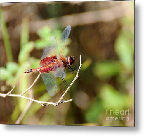 Dragonfly Metal Print featuring the photograph Red Dragon by Al Powell Photography USA