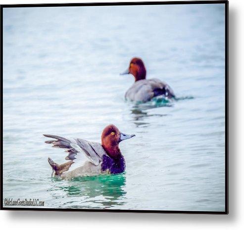 Redhead Metal Print featuring the photograph Redhead Ducks by LeeAnn McLaneGoetz McLaneGoetzStudioLLCcom