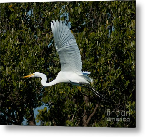 Snowy Egret Metal Print featuring the photograph Snowy Egret by Stephen Whalen