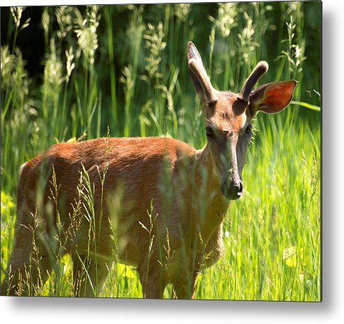 Deer Metal Print featuring the photograph Summer Deer by Lawrence Golla
