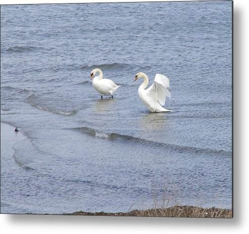 Swans Metal Print featuring the photograph Swans In Denmark by Judy Kane