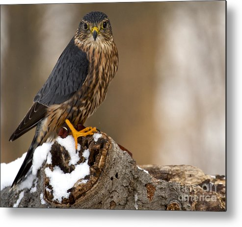 Merlin Metal Print featuring the photograph The Merlin by Precision Images
