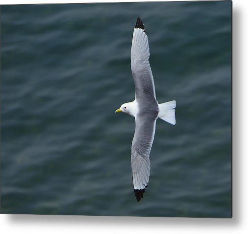Black-legged Kittiwake Metal Print featuring the photograph Tickle-ace by Tony Beck