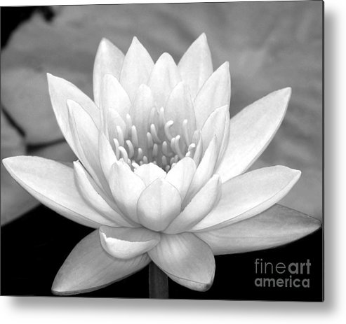 Landscape Metal Print featuring the photograph Water Lily In Black And White by Sabrina L Ryan