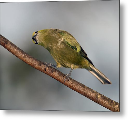 Palm Tanager Metal Print featuring the photograph What's Up And Down by Tony Beck