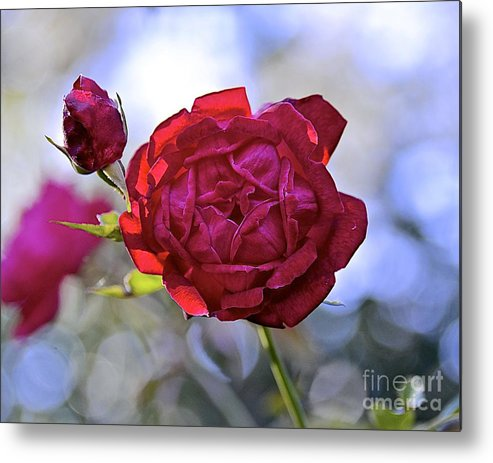 Flower Metal Print featuring the photograph Winter Rose by Carol Bradley