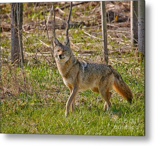 Coyote Metal Print featuring the photograph Woodland Coyote by Timothy Flanigan