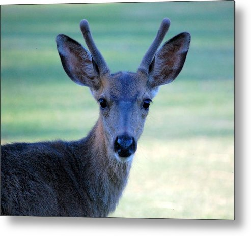 Wildlife Metal Print featuring the photograph Young Buck by AJ Schibig