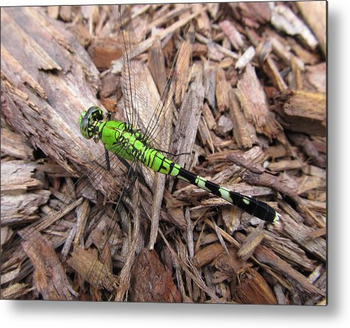 Dragonfly Metal Print featuring the photograph Dragonfly by Michele Caporaso