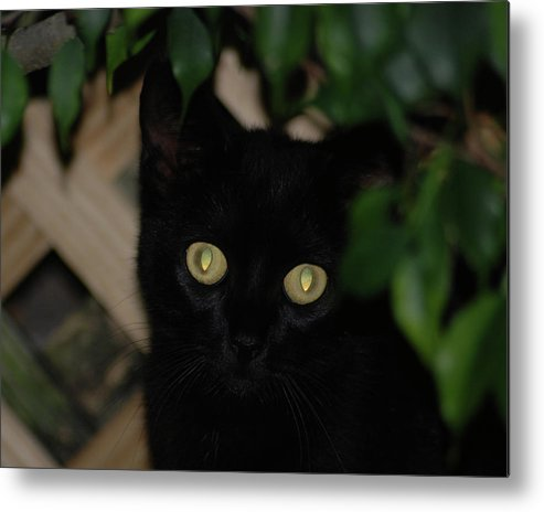 Black Cat Metal Print featuring the photograph 5- Transfixed by Joseph Keane