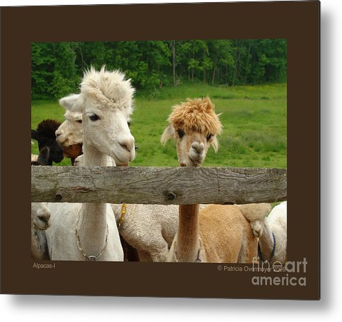 Animals Metal Print featuring the photograph Alpacas-i by Patricia Overmoyer