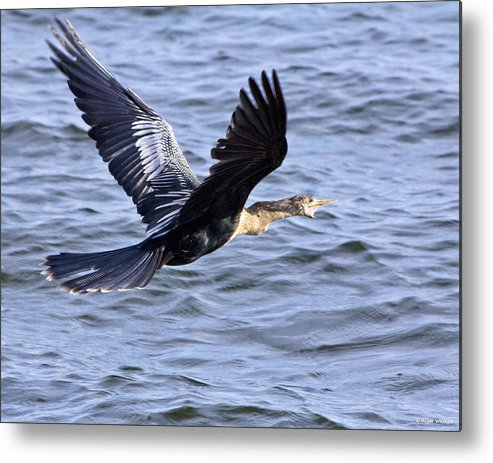 Anhinga Metal Print featuring the photograph Anhinga In Flight by Roger Wedegis